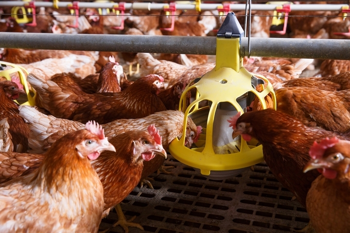 8 Types of Chicken Supplies and How Farmers Are Using Them